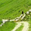 Shepherd with sheeps in meadow — Stock Photo #9266162