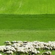 Sheeps on the meadow - Stock Photo
