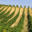 Rows of vines - Foto Stock