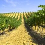 Rows of vines — Stock Photo #9588397