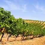 Rows of vines — Stock Photo #9589740