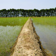 Rice fields — Stock Photo #9671547