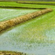 Rice field — Stock Photo #9672713