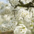 Stock Photo: Blooming branch of apple tree in spring