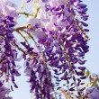 Blooming Wisteria — Stock Photo #9865658