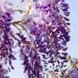 Blooming Wisteria — Stock Photo