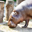 Portrait of a hippopotamus — Stock Photo