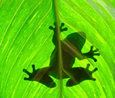 Frog resting on a leaf — Stock Photo