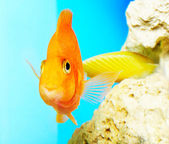 Parrot fish — Stock Photo