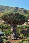 Dragon tree in Icod de los Vinos — Stock Photo