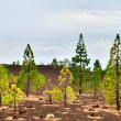 Pine trees on the edge of Teide National park — Stock Photo #8177387