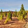 Pine trees on the edge of Teide National park, Tenerife — Stock Photo