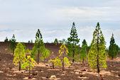 Pine trees on the edge of Teide National park — Stock Photo