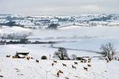 雪の覆われたフィールドと羊と丘 — ストック写真