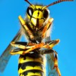 Stock Photo: Wasp