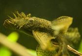 Ancistrus dolichopterus — Stock Photo