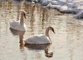 Swans winter — Stock Photo