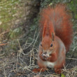 Squirrel - Sciurus vulgaris — Stock Photo #9320612