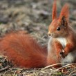 Squirrel - Sciurus vulgaris — Stock Photo #9321744