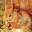 Squirrel - Sciurus vulgaris — Stock Photo #9322150