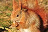 Squirrel - Sciurus vulgaris — Stock Photo