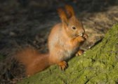 Squirrel - Sciurus vulgaris — Stock Photo