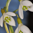 Snowdrop - Galanthus nivalis — Stock Photo