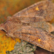 Stock Photo: Moth - Eupsilitransversa