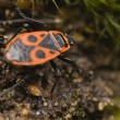 Pyrrhocoris apterus — Stock Photo #9839260