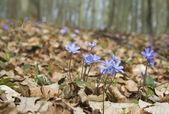 Hepatica nobilis — Stock Photo