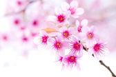 Cherry blossom , pink sakura flower — Stock Photo