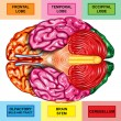 Human brain underside view — Stock Photo #8495736