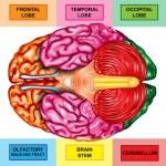 Human brain underside view — Stock Photo