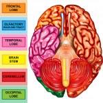 Human brain underside view — Stock Photo #8495880