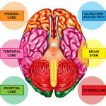 Human brain underside view — Stock Photo #8495953