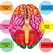 Human brain underside view — Stock Photo