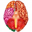 Human brain underside view vector - Stock Vector