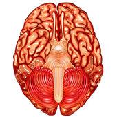 Human brain underside view vector — Stock vektor