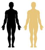 Anatomía humana masculina — Vector de stock