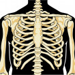 Постер, плакат: Human skeleton Chest