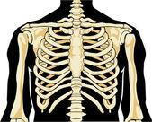 Human skeleton. Chest — Stock Vector
