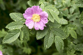 Dog rose close up with water drops — Stock Photo