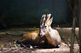 Barking deer — Stock Photo