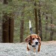 Beagle Hunting Dog — Stock Photo #10377586
