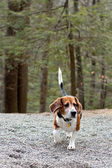 Beagle Hunting Dog — Stock Photo