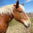 Beautiful Brown Horse - Stock Photo