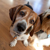 Beagle Head Tilt — Stock Photo