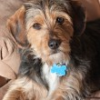 Yorkie Mix Mutt — Stock Photo