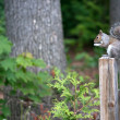 Grey Squirrel — Stockfoto