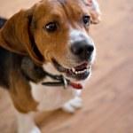 Постер, плакат: Purebred Beagle Dog